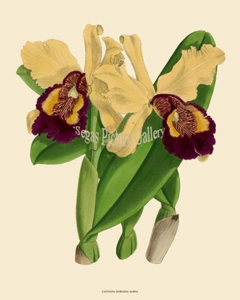 Fine art print of the Orchid Benjamin Samuel Williams of the Cattleya Dowiana Aurea by John Nugent Fitch